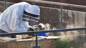 Radni zalegalizowali miejskie pszczoły