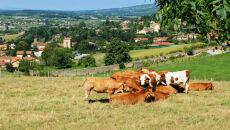 Francja: także krowy będą piły wino