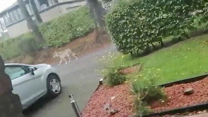 Wilk czy pies? Zbadają DNA zwierzęcia, które szwendało się po ulicach