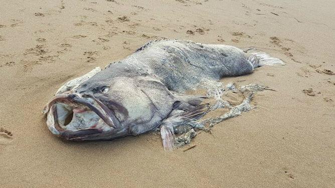 """""""Była prawie mojej wielkości"""". Zagadkowa ryba na plaży w Australii"""