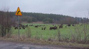 Stado żubrów pasło się przy drodze na Podlasiu